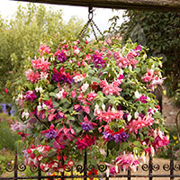 Jumbo Flowered American Fuchsias - 12 plants
