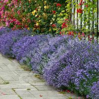 10 x English Lavender Plug Plants