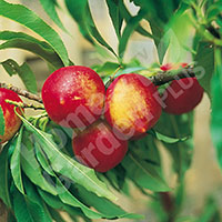 Patio Nectarine Rubis Fruit Tree