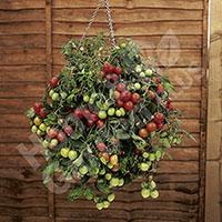 12 Tumbling Tomato Plug Plants