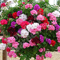Trailing Rosebud Geraniums - 12 plants