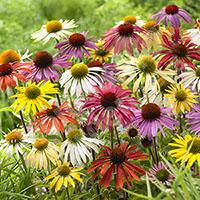 Hardy Echinacea 'Cheyenne Spirit' - 12 Plug Plants…