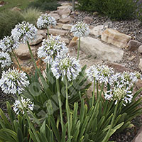 Pair of Agapanthus Queen Mum Plants in 9cm Pots
