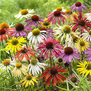 Echinacea mixed� x 12 plugs